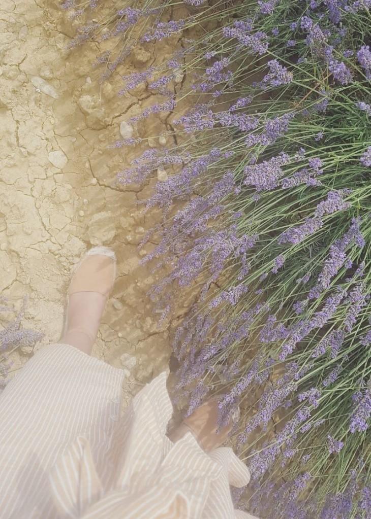 Lavender field in Valensole (provence)